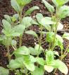 Organic Vegetable Seed - Herbs