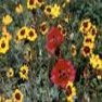 Wildflower - Dryland Mix