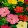 Four O'Clock (Marvel of Peru) Flower Garden Seed in Bulk