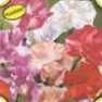 Bulk Sweet Pea (Royal Mix)-Sweet Pea Seeds - Flower Garden Seed