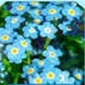 Bulk Forget Me Not (Blue) Seed - Flower Garden Seed