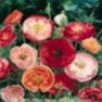 Bulk Poppy (Double Shirley) Seed - Flower Garden Seed
