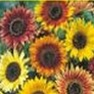 Bulk Sunflower Seed - Autumn Beauty - Flower Garden Seed