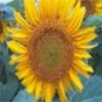 Bulk Sunflower Seed - Black Oil - Flower Garden Seed