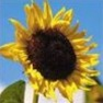 Bulk Sunflower Seed - Mammoth Grey - Flower Garden Seed