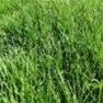 Kentucky Bluegrass 85/80