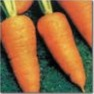 Bulk Non GMO Carrot Seed - Chantenay Red Cored Vegetable Seed