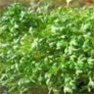 Bulk Non GMO Cress (Curled) - Herb Vegetable Garden Seed