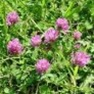 Buy Premium Quality Medium Red Clover - Bulk Clover Grass Seed Online