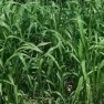 Buy High-Quality Sorghum - Sudangrass - Bulk Clover Grass Seed Online