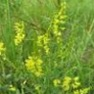 Buy High-Quality Yellow Blossom Clover - Bulk Clover Grass Seed Online