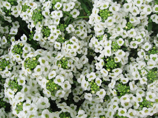 Learn About Flower Seeds Tips Tricks For Growing Alyssum Flowers