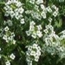 Bulk Alyssum (Carpet of Snow)-Alyssum Seeds - Flower Garden Seed