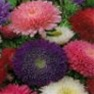 Bulk Aster (Powder Puff Mix)-Aster Seeds - Flower Garden Seed