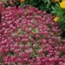 Bulk Alyssum (Royal Carpet)-Alyssum Seeds - Flower Garden Seed