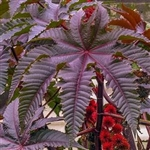 Bulk Fast Sprouting Castor Bean Plant Seeds For Sale Online