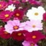 Bulk Cosmos (Sensation Mix)-Cosmos Seeds - Flower Garden Seed