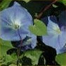 Morning Glory (Heavenly Blue) Flower Garden Seed in Bulk