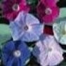 Buy Premium Quality Morning Glory (Mixed) Flower Garden Seed in Bulk