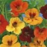 Nasturtium (Trailing Mix) Flower Garden Seed in Bulk