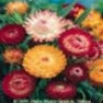 Strawflower (Tall Double Mix) Flower Garden Seed in Bulk