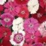Buy Premium Quality Bulk Sweet William Seed - Flower Garden Seed