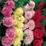 Buy Premium Multi-Colored Hollyhock Flower Garden Seeds Online - Bulk