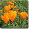 Bulk Poppy (California Giant Orange) Seed - Flower Garden Seed