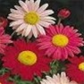 Buy Premium Quality Bulk Painted Daisy Seed - Flower Garden Seed