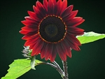 Bulk Sunflower Seed - Chocolate Cherry - Flower Garden Seed