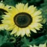Bulk Sunflower Seed - Lemon Queen - Flower Garden Seed