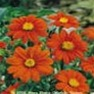 Mexican Sunflower Seed (Tithinia Torch) Flower Garden Seed in Bulk