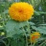 Bulk Sunflower Seed - Teddy Bear - Flower Garden Seed
