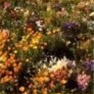 Bulk Wildflower Seed - Low Grow Mix - Flower Garden Seed