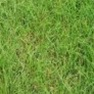 Buy Premium Quality Grass Seed - Creeping Red Fescue Online