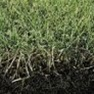 Buy Premium Quality Perennial Ryegrass Grass Seed Online