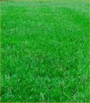 Buy Premium Quality Buy Premium Quality Tall Fescue Grass Seed Online