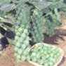 Bulk Non GMO Brussels Sprout Seed - Long Island Vegetable Seed