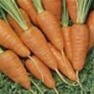 Shop Bulk Danvers 126 Carrot - Premium non-GMO Carrot Seeds | Mainstreet Seed & Supply