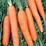 Bulk Non GMO Scarlet Nantes - Carrot Vegetable Seed