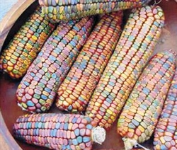 Bulk Non GMO Rainbow - Ornamental Indian Corn Seed