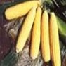 Bulk Non-GMO Honey Select Sweet Corn Vegetable Seed Variety