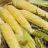 Bulk Non GMO Kandy Korn - Sweet Corn Vegetable Seed