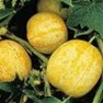 Buy Premium Quality Bulk Non GMO Lemon - Cucumber Vegetable Seed