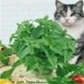 Buy Premium Quality Bulk Non GMO Catnip - Herb Vegetable Garden Seed