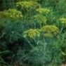 Buy Premium Quality Bulk Non GMO Dill - Herb Vegetable Garden Seed
