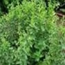 Bulk Non GMO Oregano (Italian) - Herb Vegetable Garden Seed