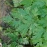 Bulk Non GMO Parsley (Dark Green Italian) - Herb Vegetable Garden Seed