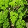 Bulk Non GMO Parsley (Moss Curled) - Herb Vegetable Garden Seed