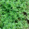 Buy Premium Quality Bulk Non GMO Thyme - Herb Vegetable Garden Seed